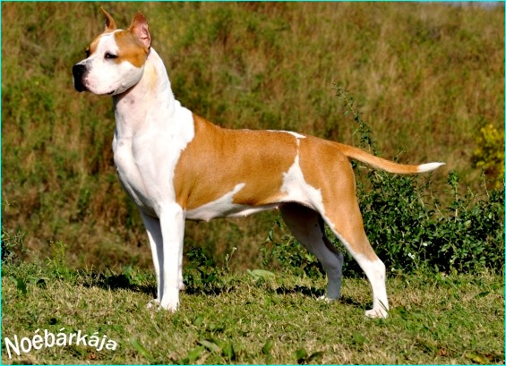 Genius ast Honey of WHITE-amSTAFF